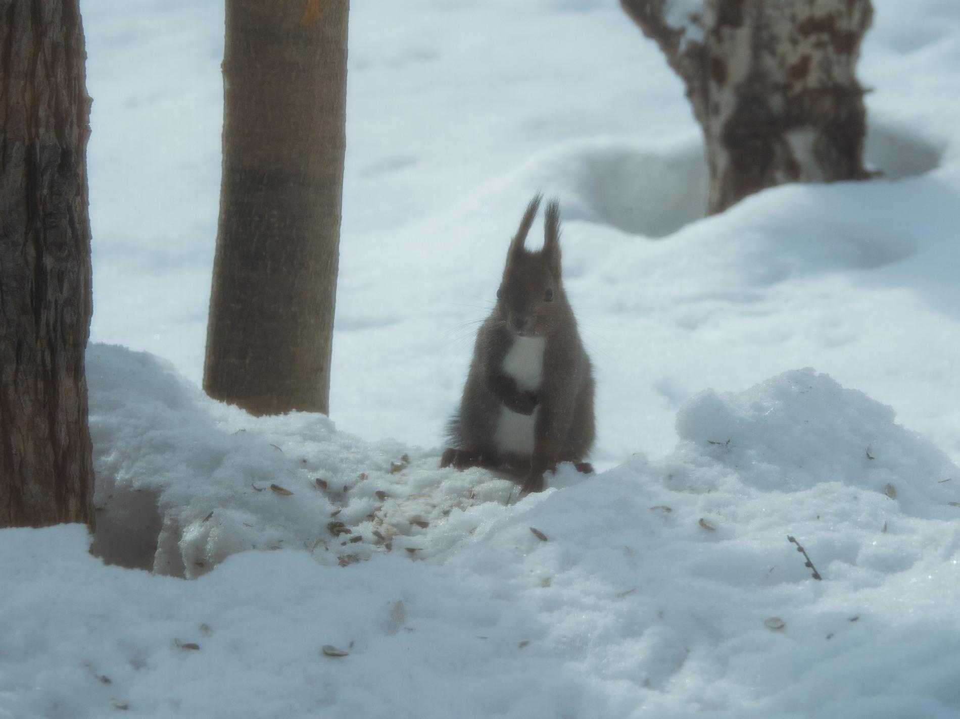 雪どけが進む3月後半・・シメの大群が去ってからエゾリス君_f0276498_00213643.jpg