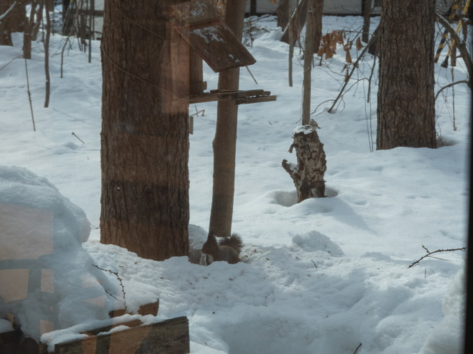 雪どけが進む3月後半・・シメの大群が去ってからエゾリス君_f0276498_00220539.jpg