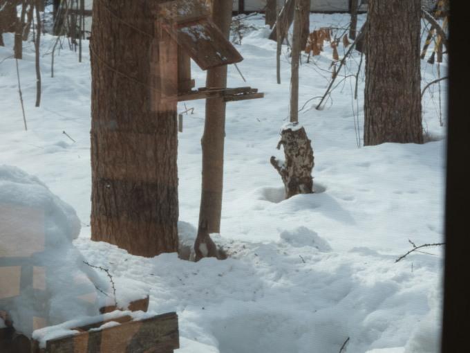 雪どけが進む3月後半・・シメの大群が去ってからエゾリス君_f0276498_00221969.jpg