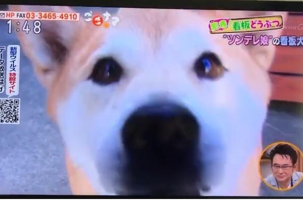 看板犬クウ(NHK ごごナマ)_a0233202_17515638.jpeg