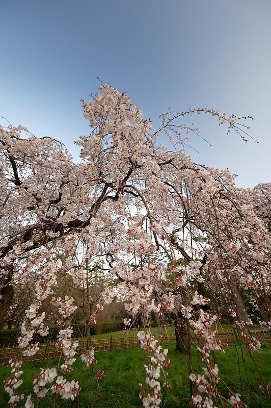 2020桜巡り@御所 近衛邸跡の糸桜_f0032011_17041311.jpg
