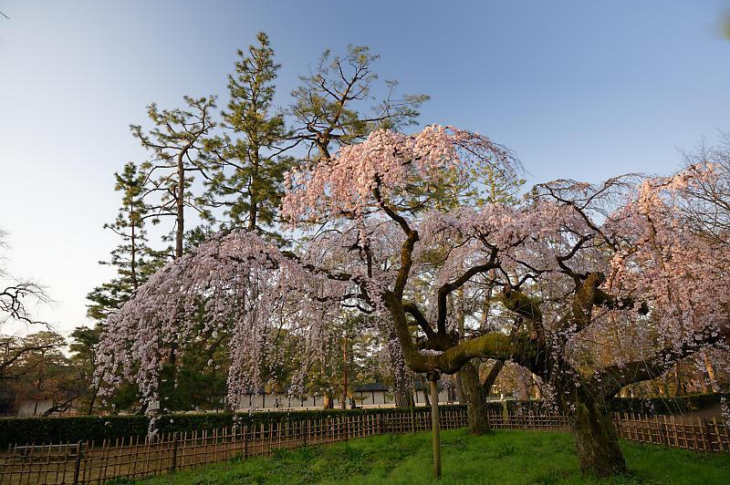 2020桜巡り@御所 近衛邸跡の糸桜_f0032011_17041350.jpg