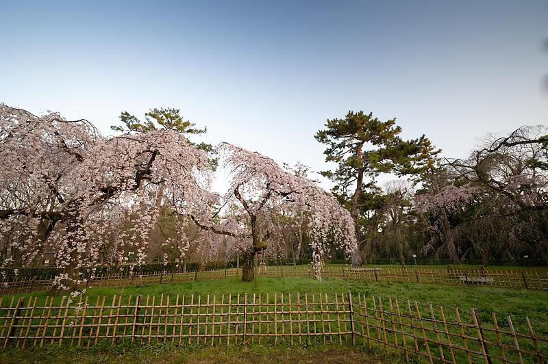 2020桜巡り@御所 近衛邸跡の糸桜_f0032011_17041357.jpg