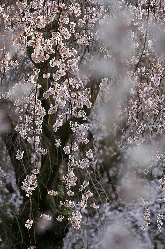2020桜巡り@御所 近衛邸跡の糸桜_f0032011_17041416.jpg