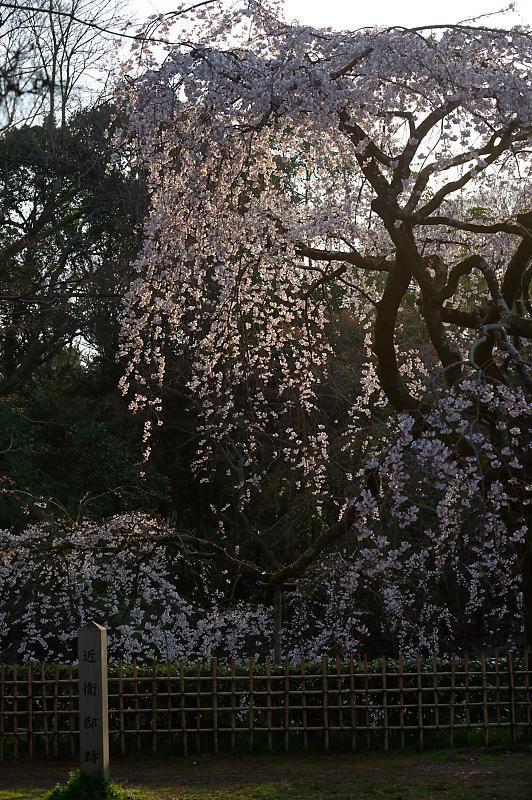 2020桜巡り@御所 近衛邸跡の糸桜_f0032011_17041445.jpg