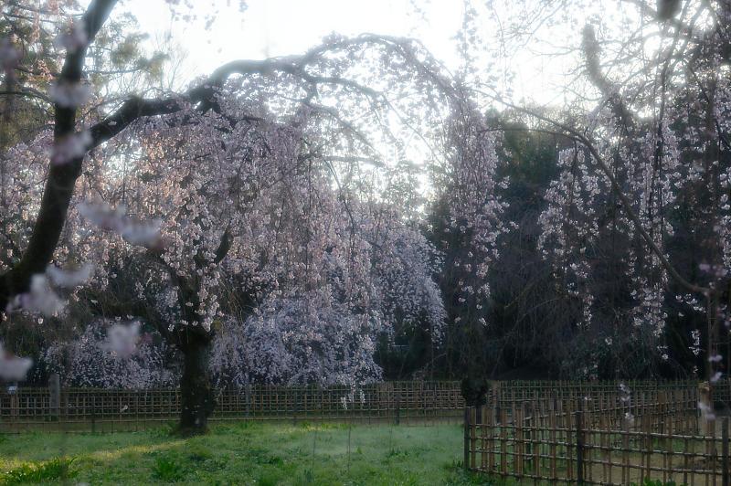2020桜巡り@御所 近衛邸跡の糸桜_f0032011_17041447.jpg