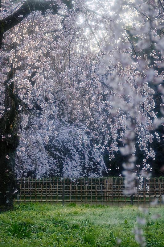 2020桜巡り@御所 近衛邸跡の糸桜_f0032011_17041473.jpg