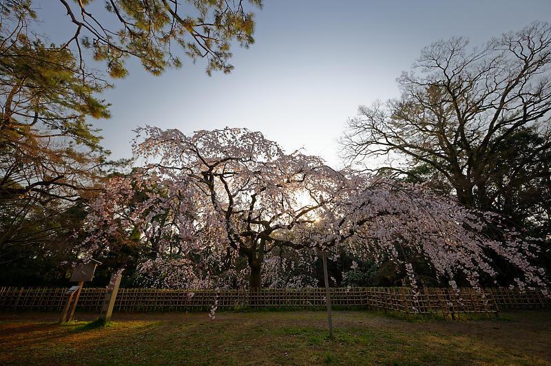 2020桜巡り@御所 近衛邸跡の糸桜_f0032011_17041516.jpg