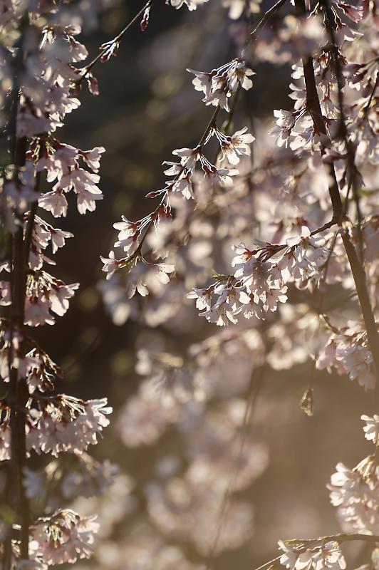 2020桜巡り@御所 近衛邸跡の糸桜_f0032011_17085455.jpg