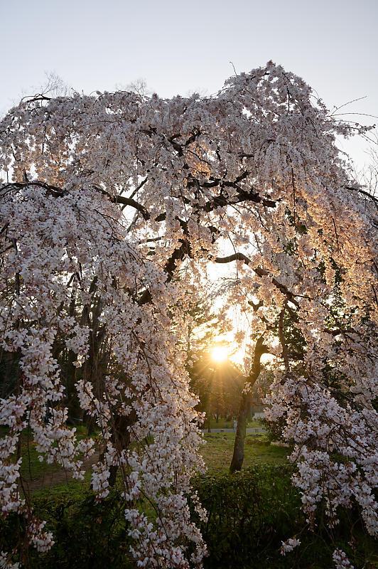 2020桜巡り@御所 近衛邸跡の糸桜_f0032011_17122605.jpg