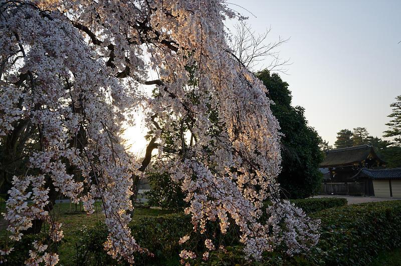 2020桜巡り@御所 近衛邸跡の糸桜_f0032011_17122639.jpg