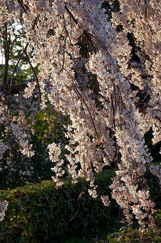 2020桜巡り@御所 近衛邸跡の糸桜_f0032011_17122738.jpg