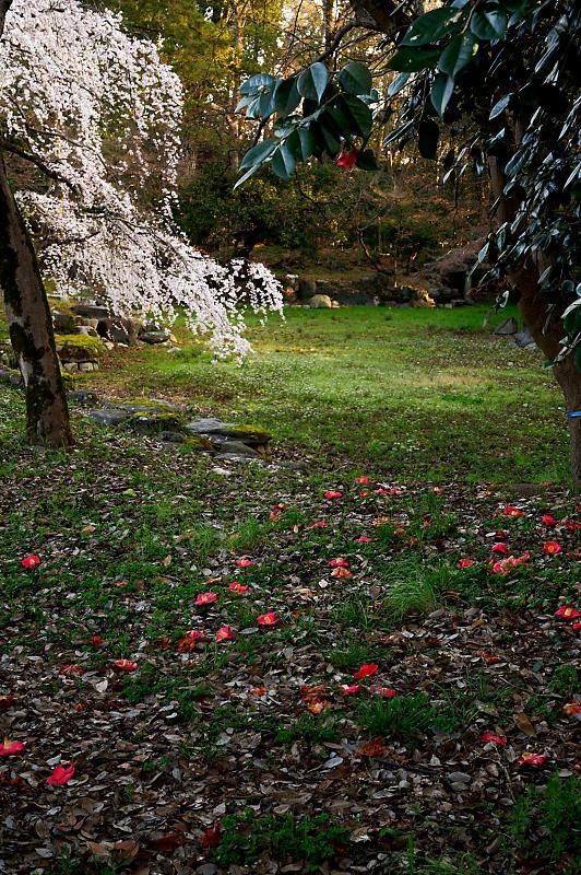 2020桜巡り@御所 近衛邸跡の糸桜_f0032011_17122749.jpg