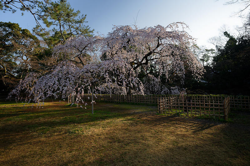 2020桜巡り@御所 近衛邸跡の糸桜_f0032011_17182482.jpg