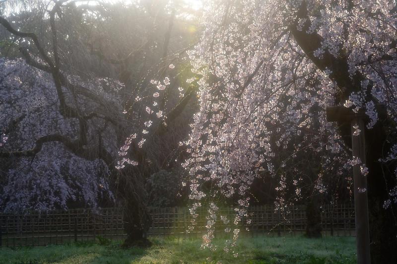 2020桜巡り@御所 近衛邸跡の糸桜_f0032011_17220435.jpg