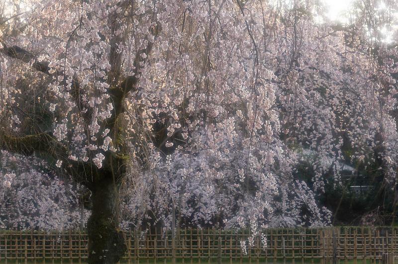 2020桜巡り@御所 近衛邸跡の糸桜_f0032011_17220486.jpg