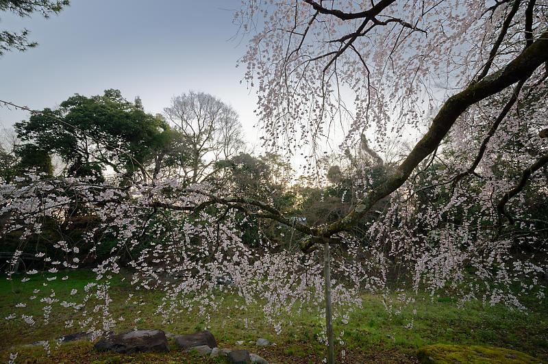 2020桜巡り@御所 近衛邸跡の糸桜_f0032011_17305864.jpg
