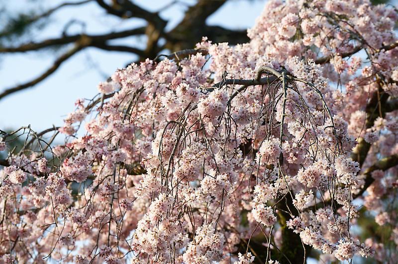 2020桜巡り@御所 近衛邸跡の糸桜_f0032011_17553310.jpg