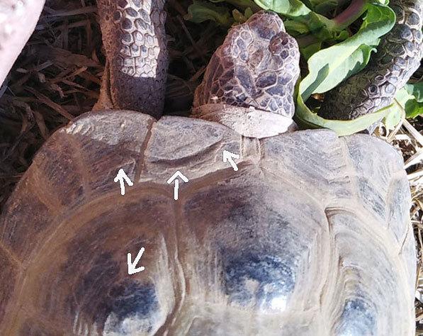 二匹のカメの体重が昨年から据置の不安とタマチャンの甲羅_a0193314_19381461.jpg