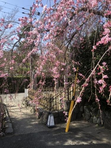 桜が咲き始めました〜🌸_a0197730_13211464.jpeg