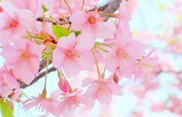 桜がさきました。_c0221937_18352301.jpg