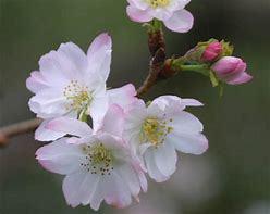 桜がさきました。_c0221937_18374228.jpg