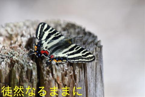 ミヤマセセリ・ギフチョウ_d0285540_18590679.jpg