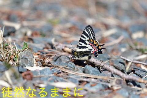 ミヤマセセリ・ギフチョウ_d0285540_18593775.jpg