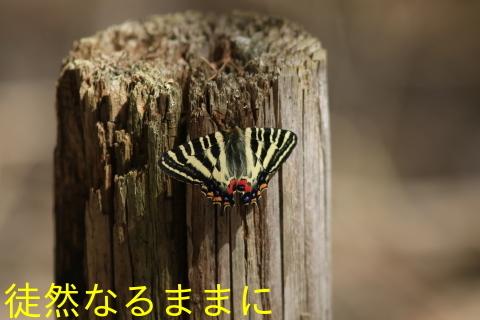 ミヤマセセリ・ギフチョウ_d0285540_19002175.jpg