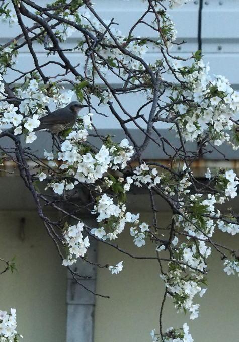 花見にはまだちょいと早い東京だがしかし_d0027243_01143188.jpg