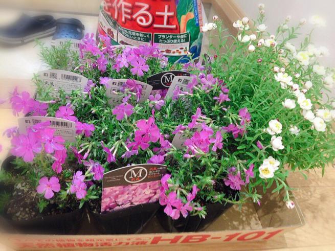 芝桜のグランドカバーに憧れる。・:*:・(*´ー`*人)_f0183846_16430353.jpg