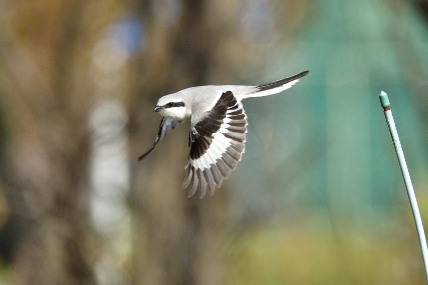 オオカラモズ(Chinese Grey Shrike)~2020.03_b0148352_13382538.jpg