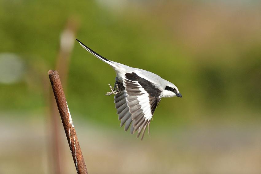 オオカラモズ(Chinese Grey Shrike)~2020.03_b0148352_13383698.jpg