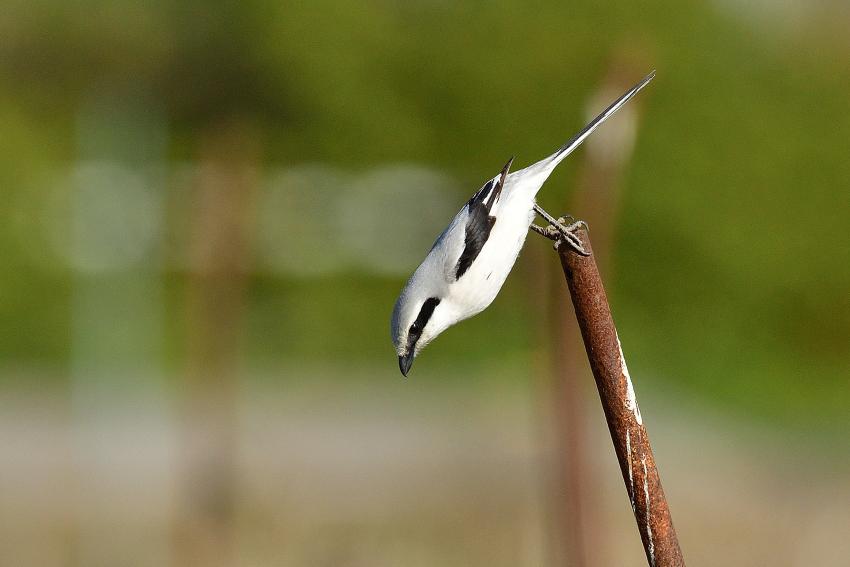 オオカラモズ(Chinese Grey Shrike)~2020.03_b0148352_14082137.jpg