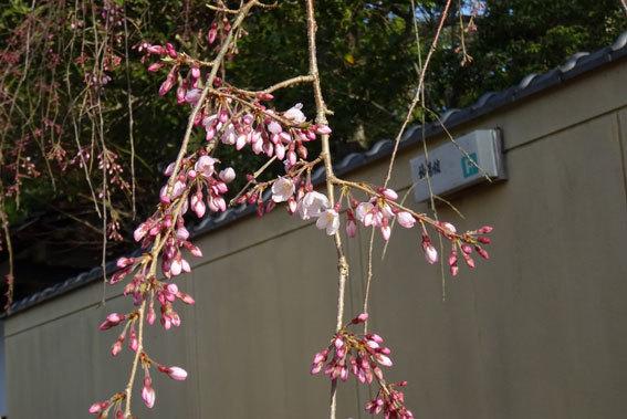 イトザクラが花開く季節_b0145257_08224588.jpg