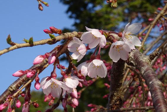 イトザクラが花開く季節_b0145257_08225026.jpg