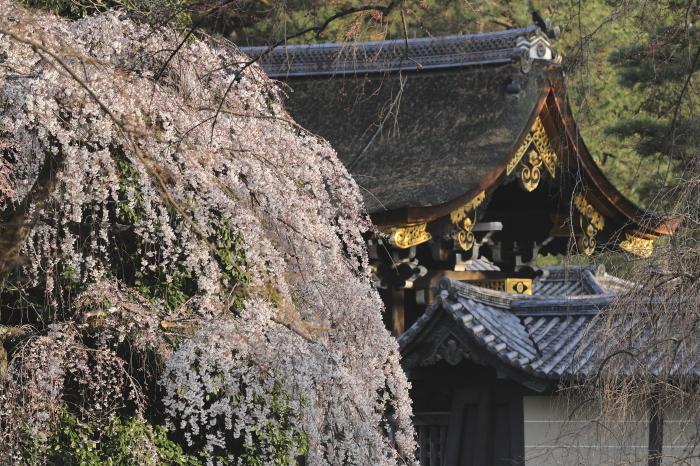 桜 2020  京都御所_f0021869_23213949.jpg