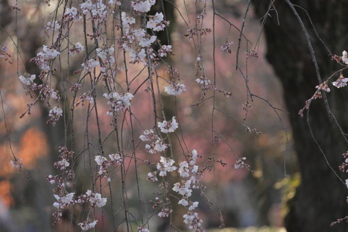 桜 2020  京都御所_f0021869_23233449.jpg