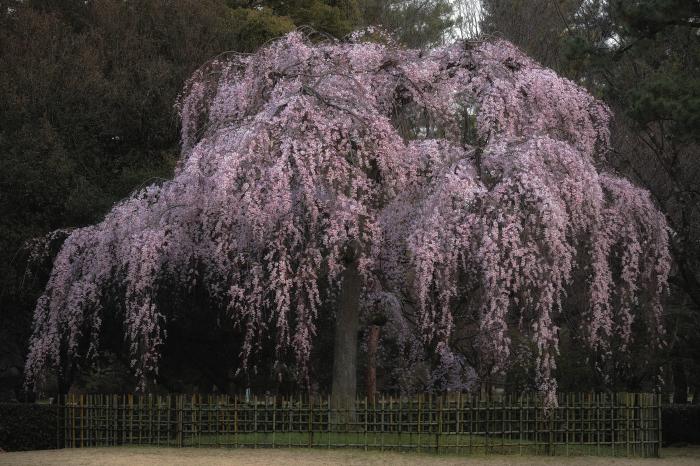 桜 2020  京都御所_f0021869_23294965.jpg