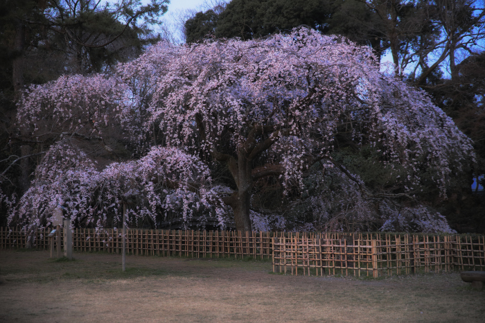 桜 2020  京都御所_f0021869_23310605.jpg