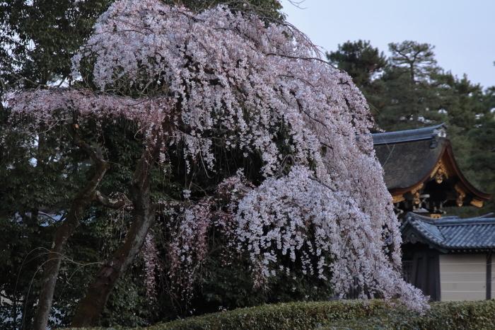 桜 2020  京都御所_f0021869_23314286.jpg