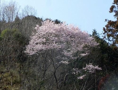 待ちかねた桜、でも今年はちょっとブルー_b0102572_23155206.jpg