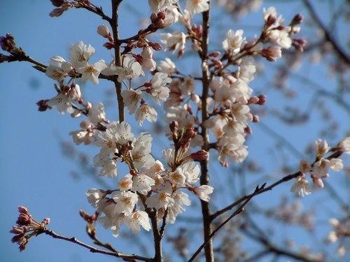 待ちかねた桜、でも今年はちょっとブルー_b0102572_23190343.jpg