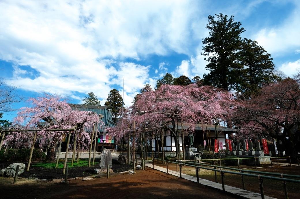 六地蔵寺の枝垂れ桜 ⓶ 水戸市六反田町 2020・03・20_e0143883_04044218.jpg