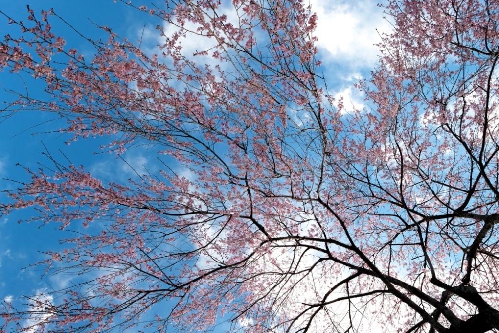 六地蔵寺の枝垂れ桜 ⓶ 水戸市六反田町 2020・03・20_e0143883_04075761.jpg