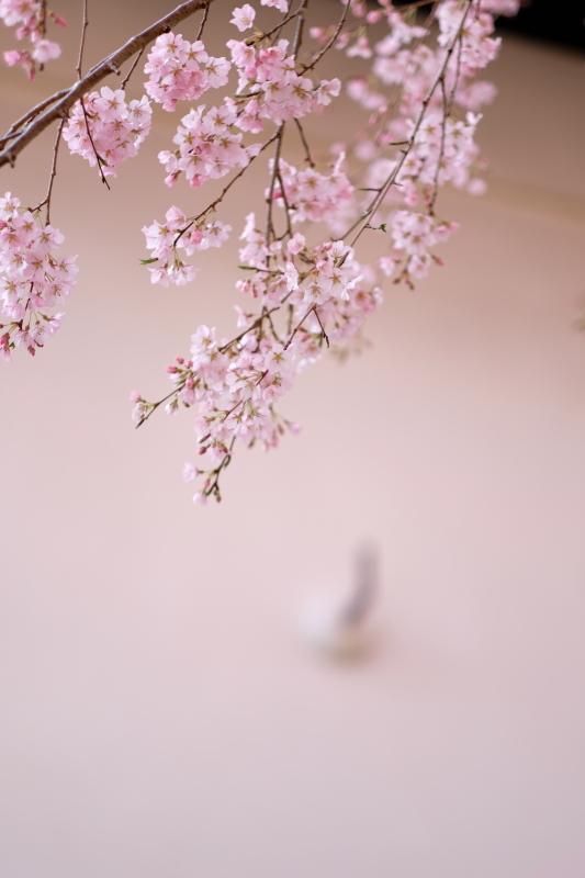 Pink & White  水戸市「六地蔵寺」 2020・03・21_e0143883_21122291.jpg
