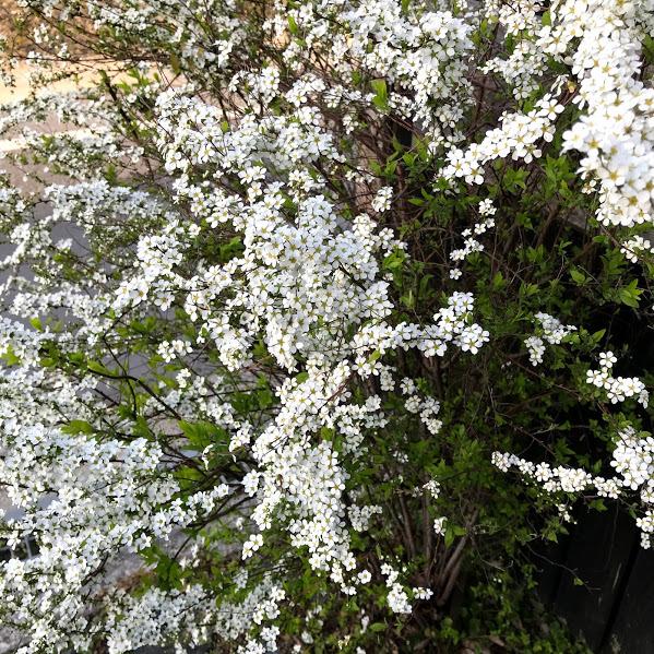 春はちゃんと訪れてくれました。「庭の雪柳が満開です。」編_e0359584_21570765.jpg