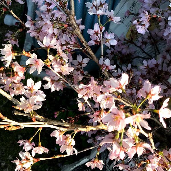 春はちゃんと訪れてくれました。「庭の雪柳が満開です。」編_e0359584_21570776.jpg