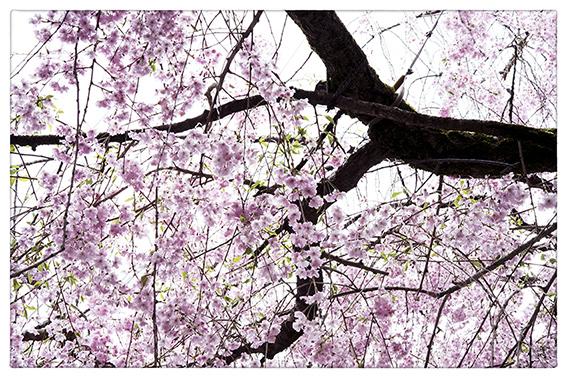 桜_d0111087_04161993.jpg