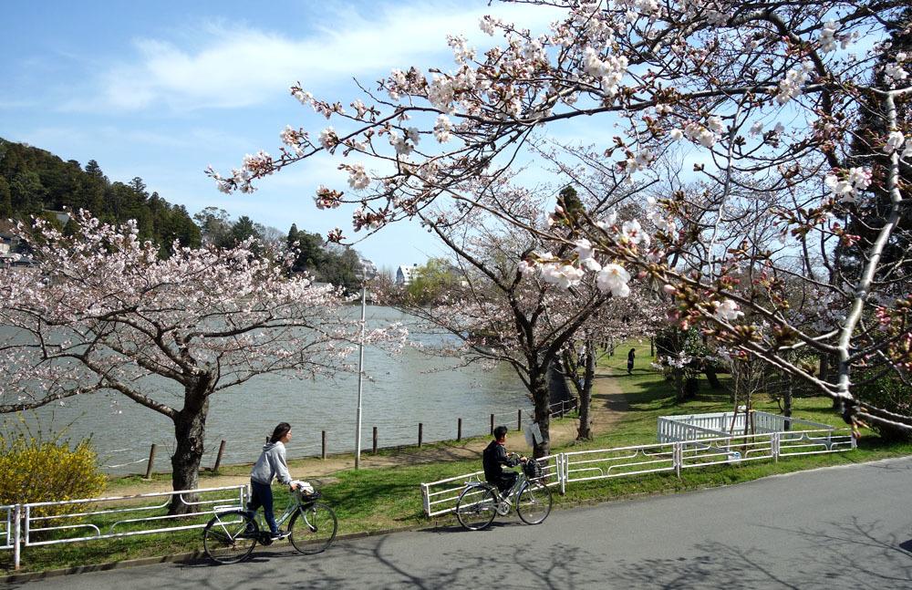 咲き始めた東金・八鶴湖のさくら_b0114798_16553964.jpg